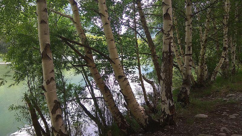 Берег озера в берёзках.